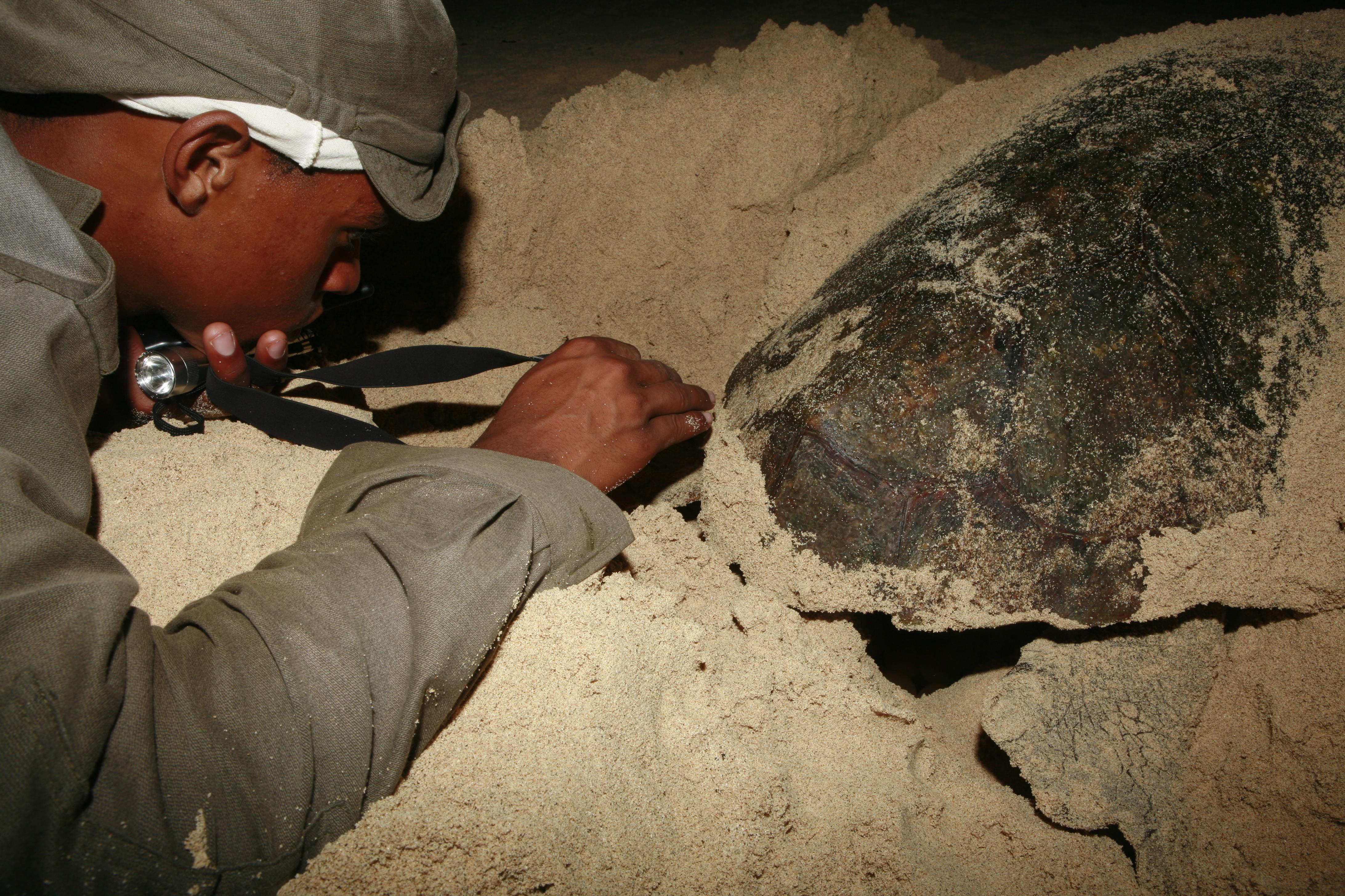 green sea turtle essay