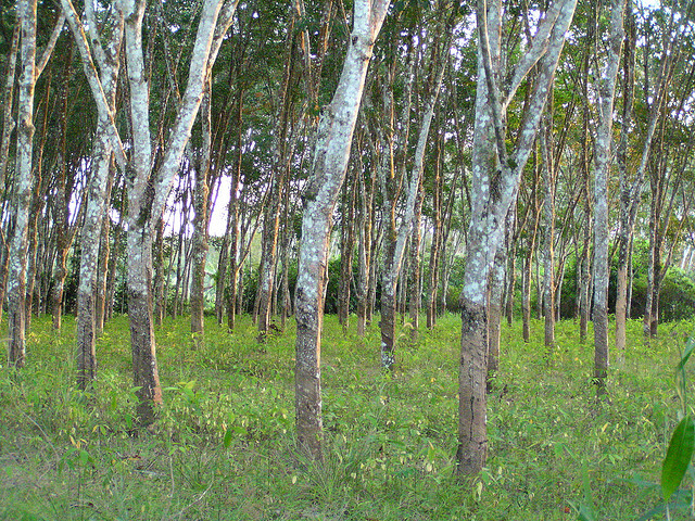 rubber trees on grassland