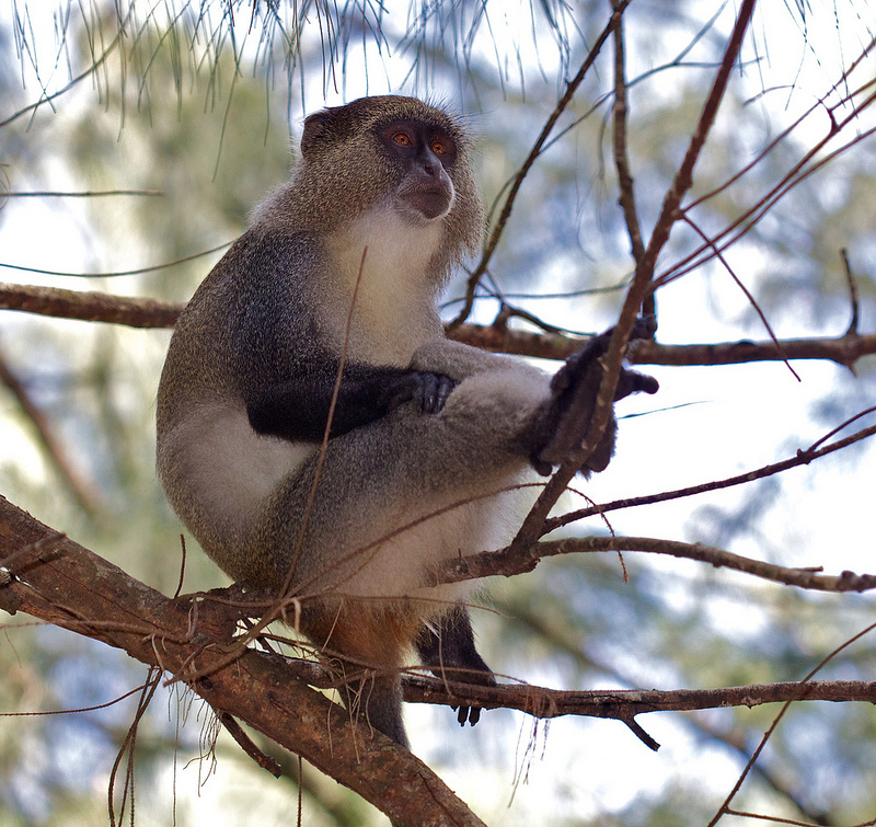 Samango monkeys appreciate human bodyguards (Photo: flickr/hyper7pro under CC BY 2.0)