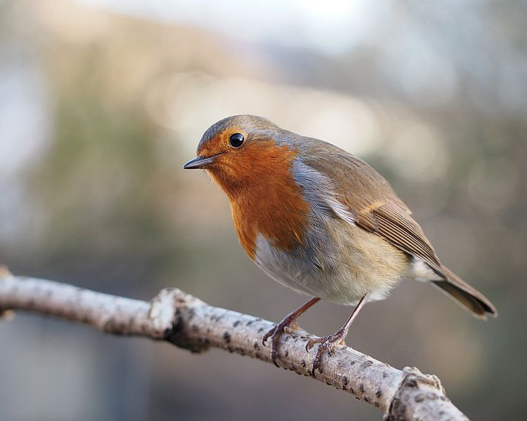 European robin, photo credit:  © Francis C. Franklin / CC-BY-SA-3.0, wikipedia.com: http://bit.ly/1qD0ThK