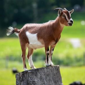 Goat, CC BY-SA 3.0 by Armin Kübelbeck, wikipedia.com: http://en.wikipedia.org/wiki/File:Hausziege_04.jpg