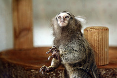 marmoset monkey CC NC ND 2.0: reMuse/flickr
