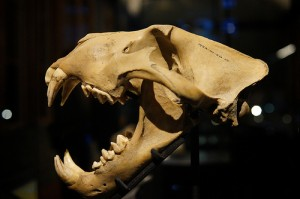barbary lion skull