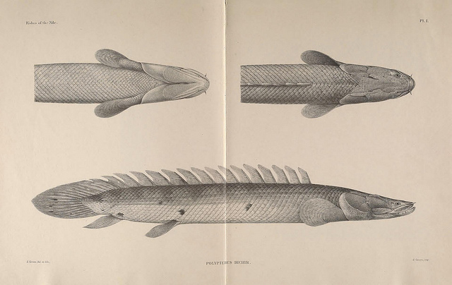 Illustration of a Bichir