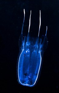 box jellyfish, credit: CC BY-NC-ND 2.0 by Joshua Lambus/flickr.com: http://bit.ly/1fiZvbv