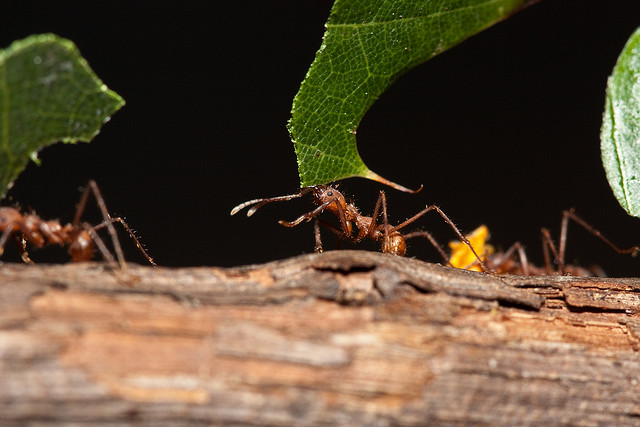 They are not only quite strong, but also well organized: as ants do rather think of the whole group's movement than thinking egoistically of their own ongoing. (Photo credit: CC BY NC SA 2.0: Stephen Begin)