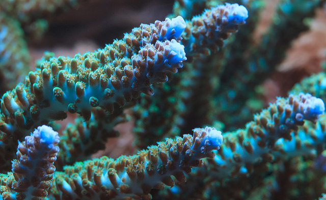 Not exactly Acropora hyacinthus, but another coral of the Acropora family (Photo credit: CC BY 2.0: Will Thomas/Forge Mountain Photography)