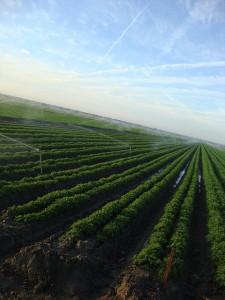 Sprinklers watering carrots
