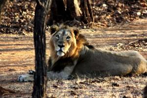 gir lion bigger