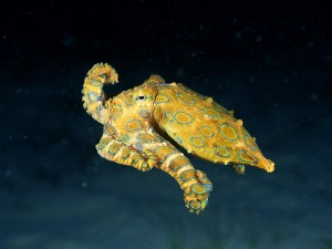 Blue-Ringed Octopus, credit: CC BY 2.0 by Angell Williams/flickr.com: http://bit.ly/1fiZ8hp