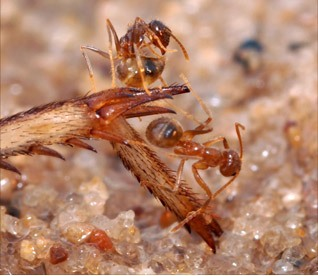 Tawny crazy ant standing on cricket le g, expressing detoxification behavior. (Photograph by Lawrence Gilbert)