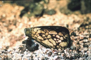 marbled cone snail, credit: public domain/wikipedia