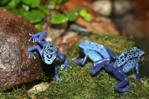 poison dart frog, credit: CC BY 2.0 by cliff/flickr.com: http://bit.ly/1ezoiVD