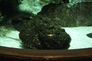 stonefish, credit: CC BY-SA 2.0 by PhylB, flickr.com - http://bit.ly/1d9ULAN