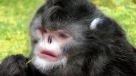 Sneezing Monkey (Rhinopithecus strykeri)