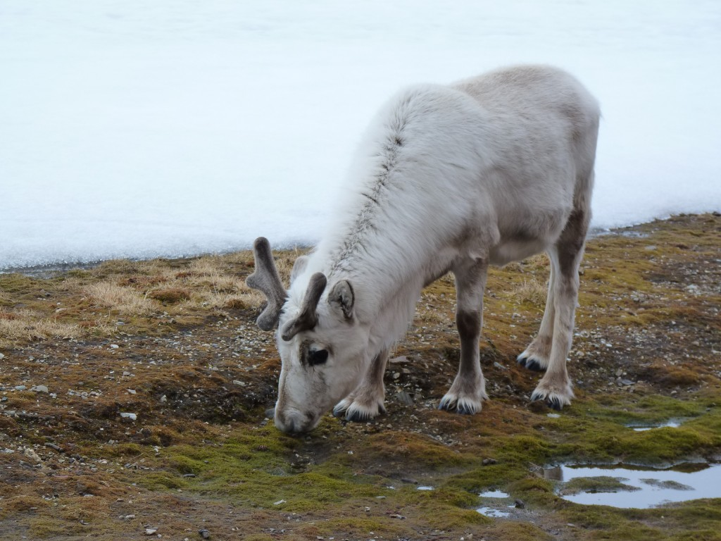 Svalbard reindeer are said to be experts at adaptation.  (I.Quaile )2010)