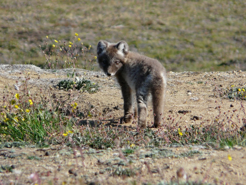 Arctic foxes face increasing competition from southern relatives (I.Quaile, Greenland)