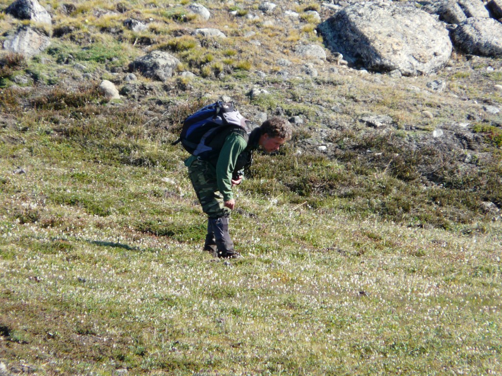 Ornithologist checking nests at Arctic Zackenberg, Greenland (IQ)