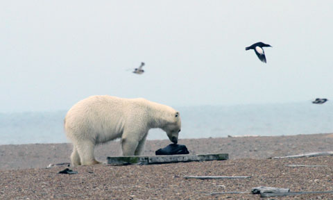 A polar bear tries to get at a black guillemot nest site (Pic: George Divoky)