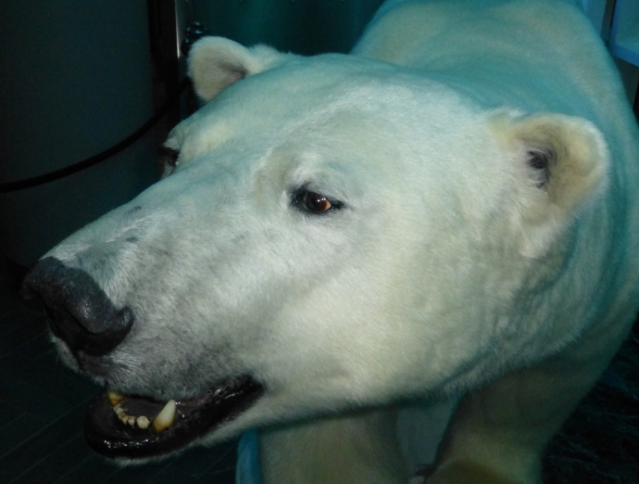 Polar bears only in the museum? (Pic. I.Quaile)