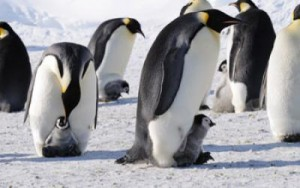 Emperor penguins stand out against the ice - even seen from space!