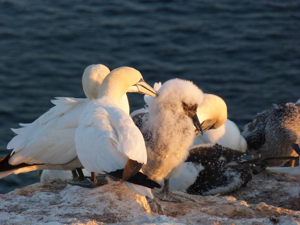 Gannets breeding on Helgoland