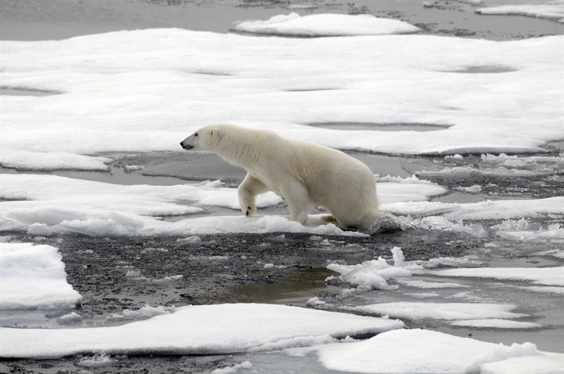 Polar Bear on melting sea ice, Russian Arctic. Foto courtesy of Peter Prokosch and UNEP/Grid Arendal