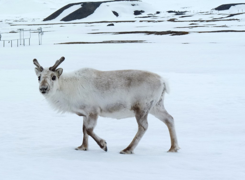 Svalbard's sturdy reindeer are adapting to climate change. In Siberia, thousands of animals have died of starvation. (Pic: I.Quaile)