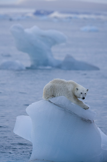Polar bear, courtesy of WWF