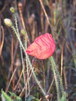 This poppy was growing near my home at Christmas. (Pic: I.Quaile)